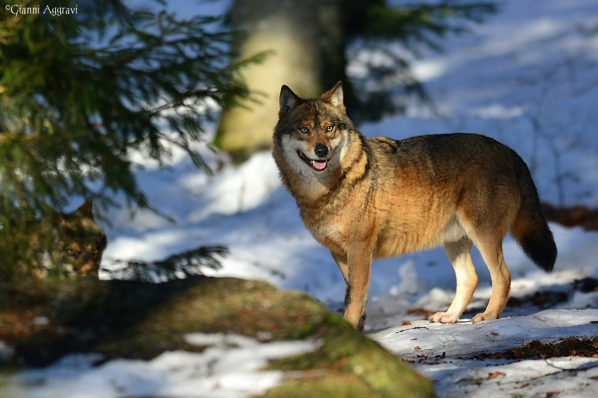 Canis lupus (wolf)...
