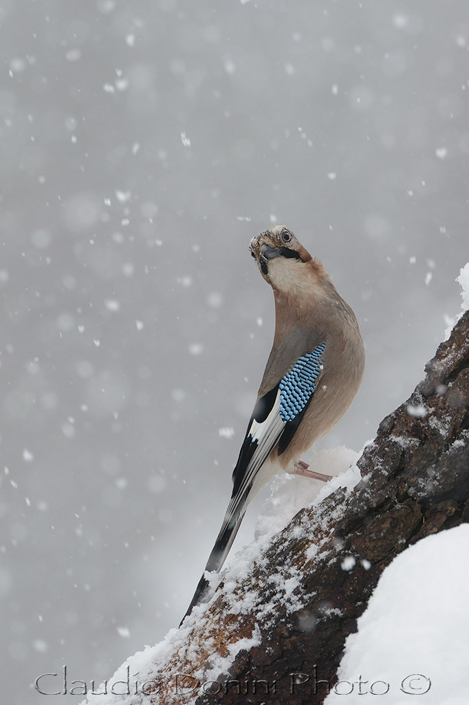 Jay in the snow...