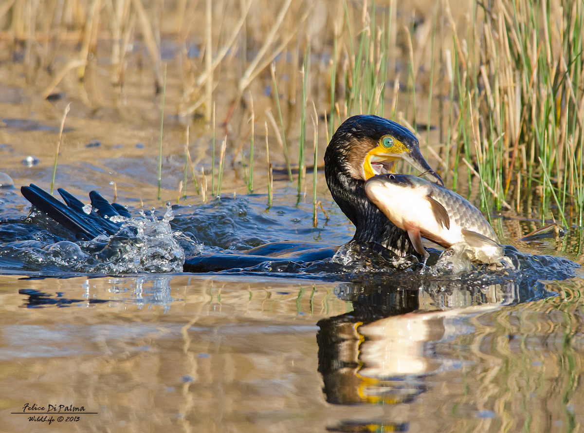 The meal of the cormorant...