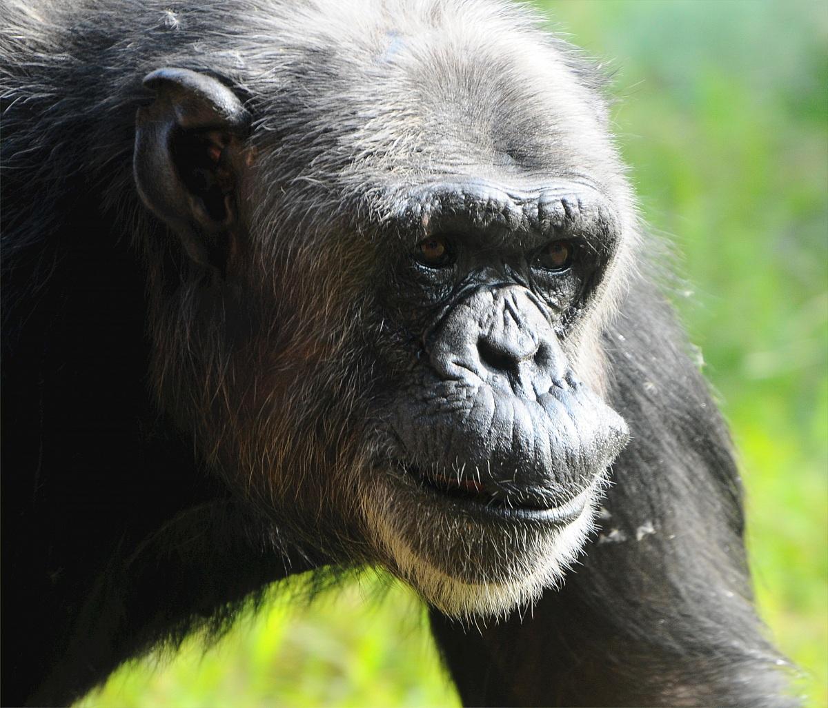 Chimpanzees'...