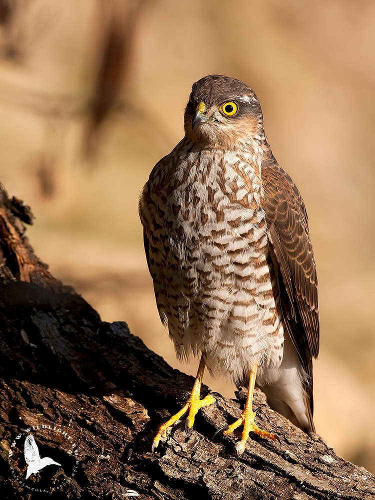 Juv Sparrowhawk...