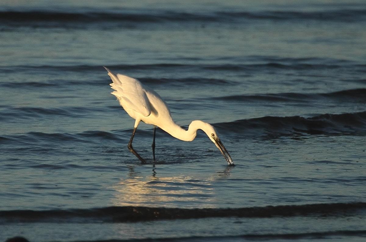 Egret at dinner...
