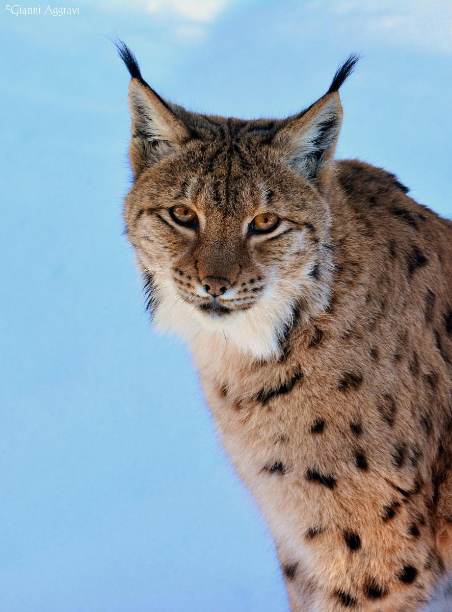 Lynx...