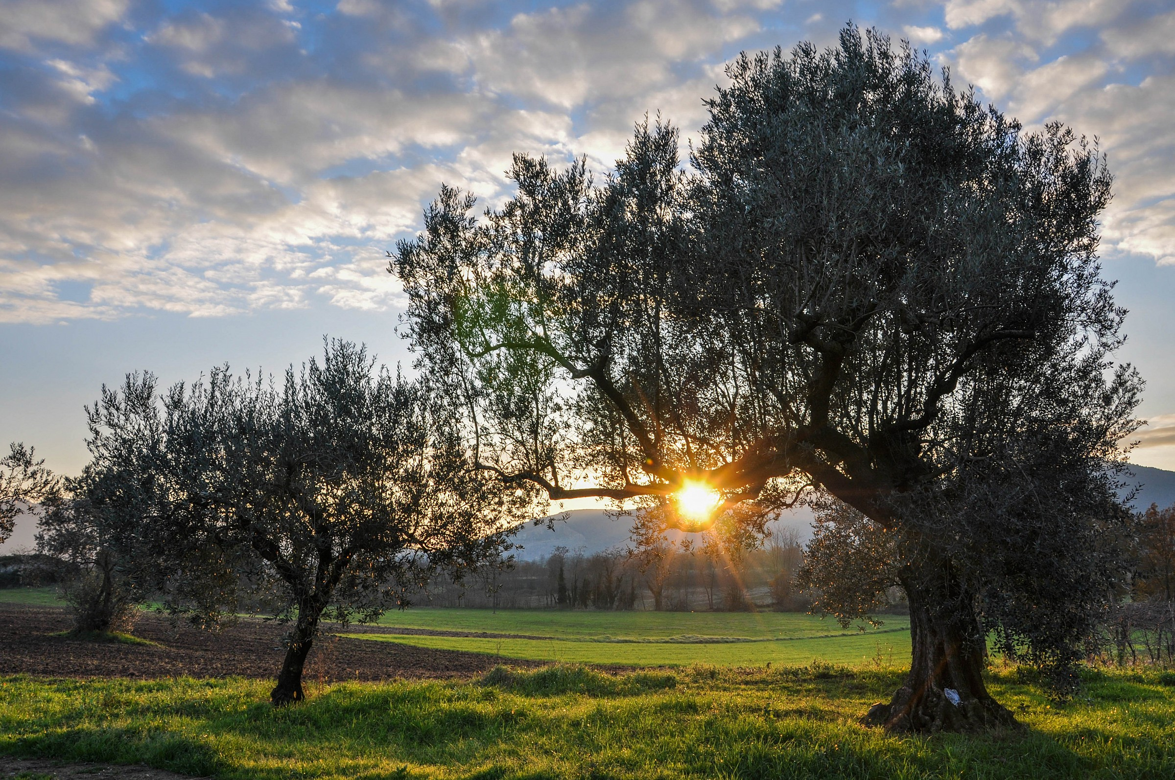 The friend of the olive trees...