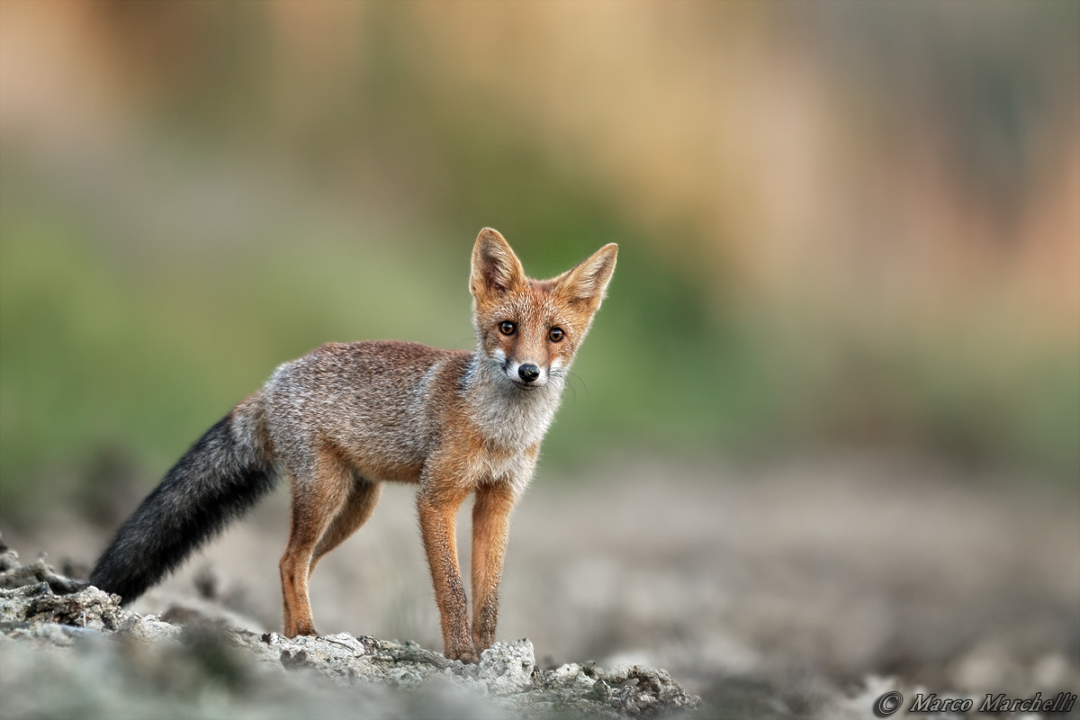 Young fox...