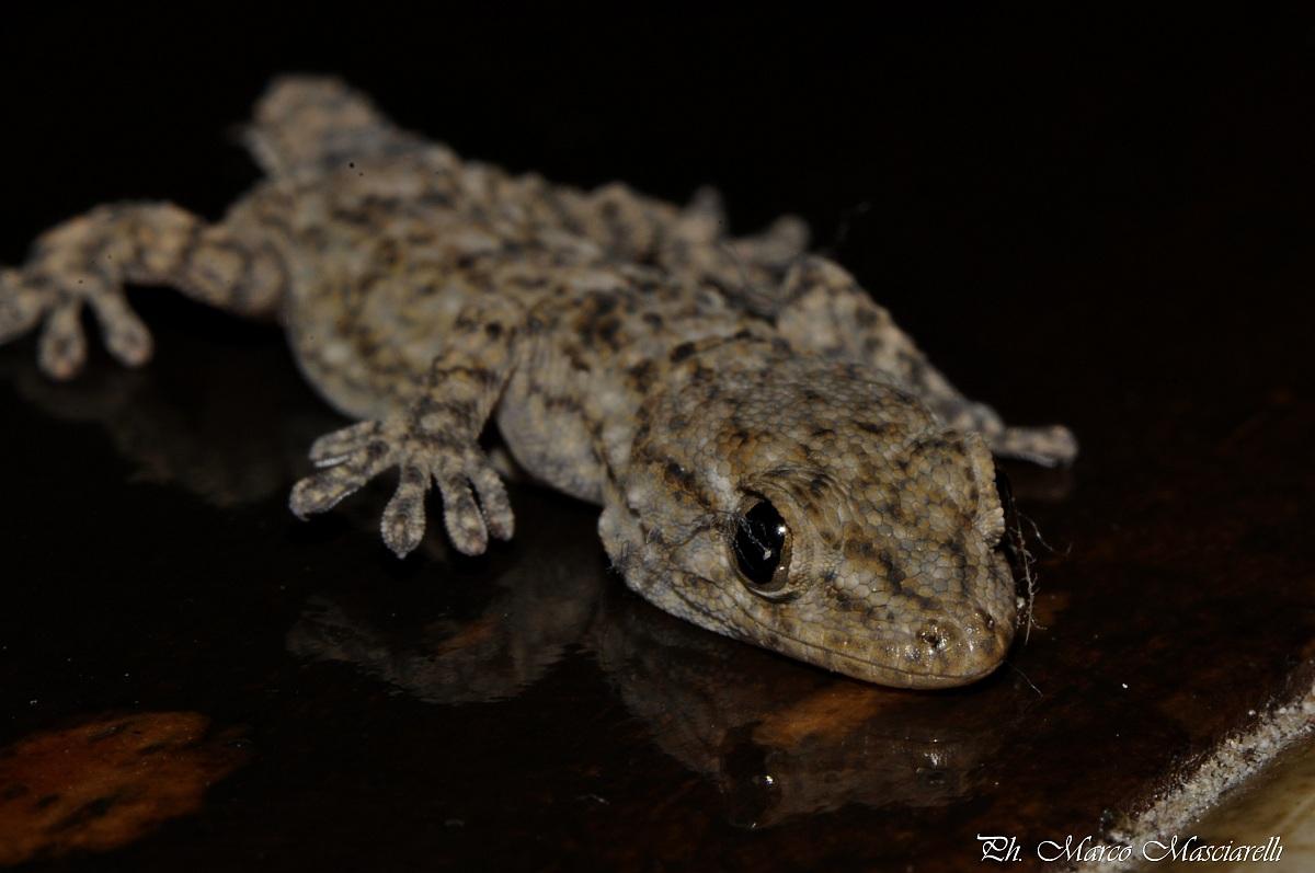 Gecko...