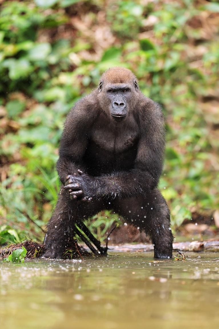 Western Lowland Gorilla...