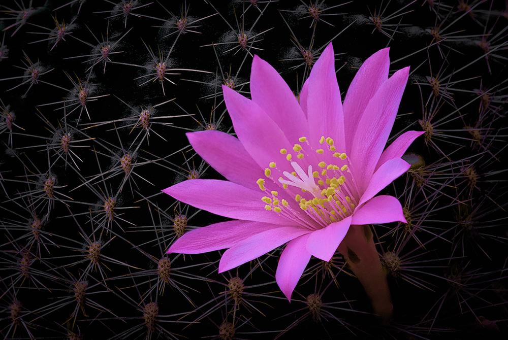 Even the flowers are elegant Mamillaria...