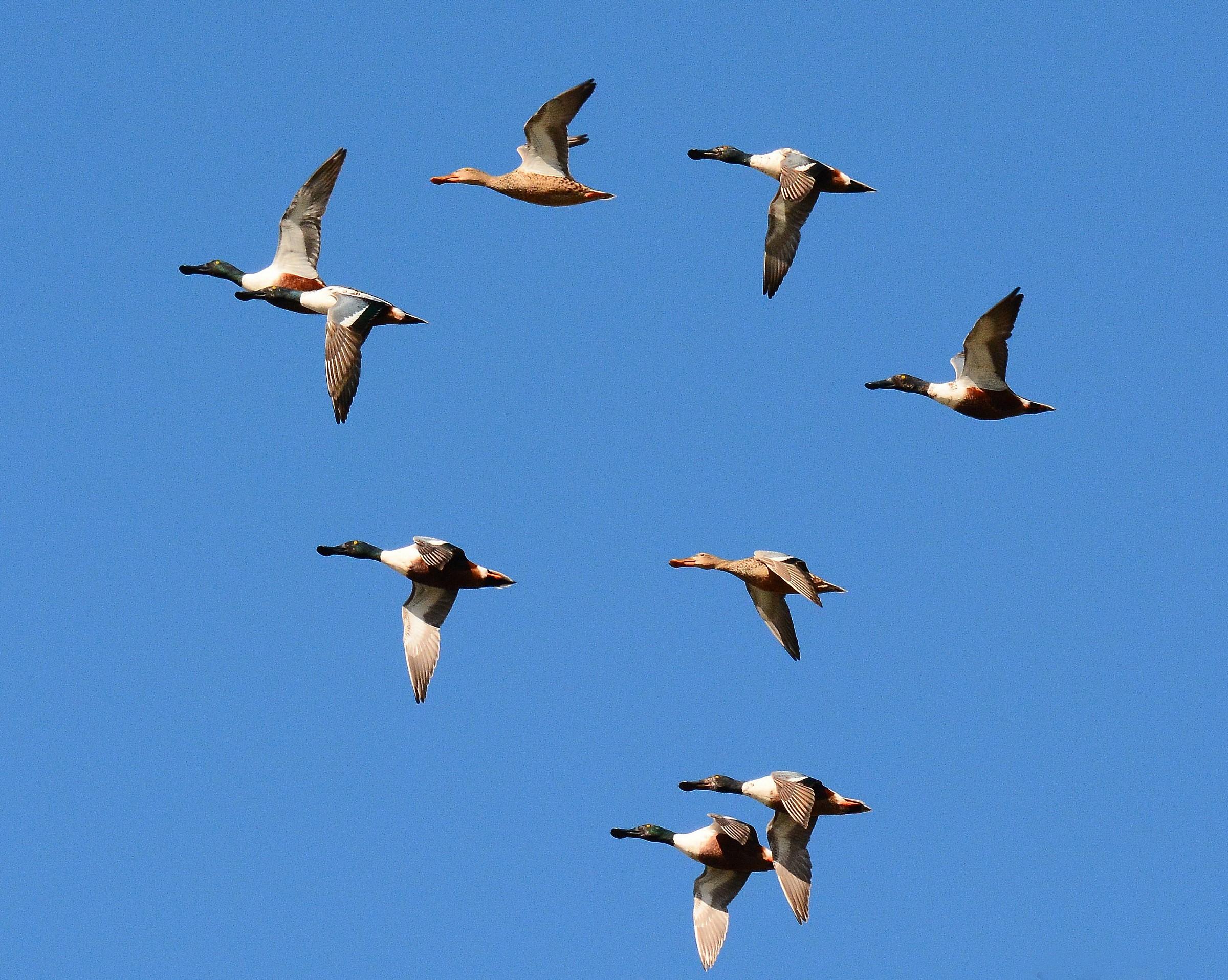 Spoonbills in flight...