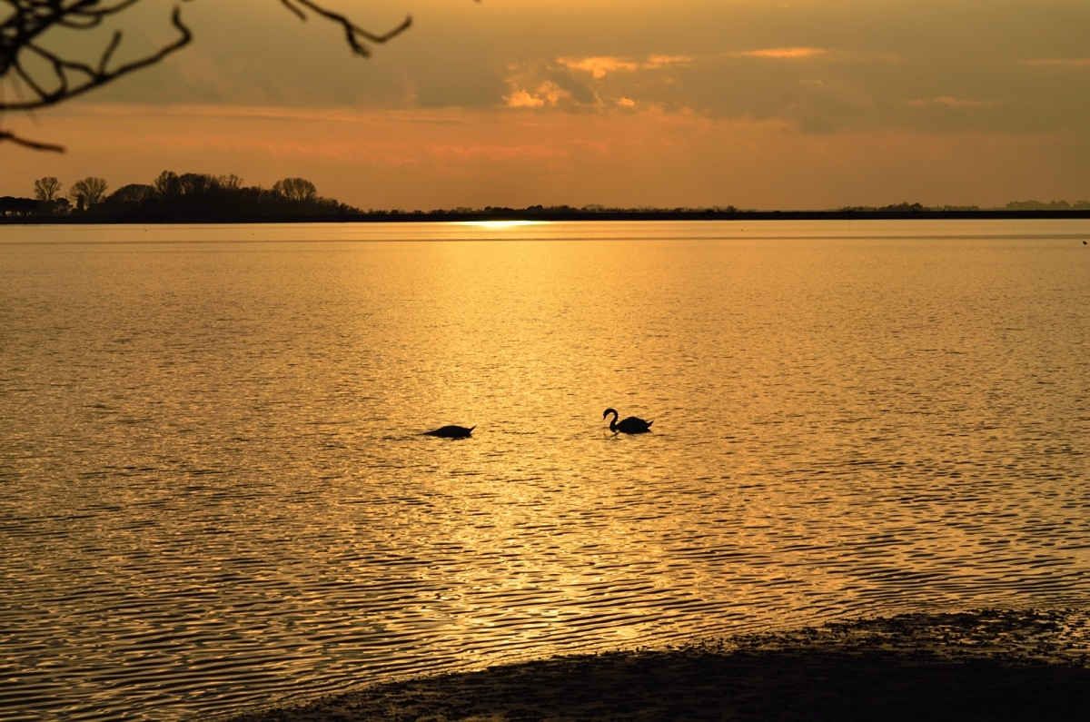 Swans at sunset 8...