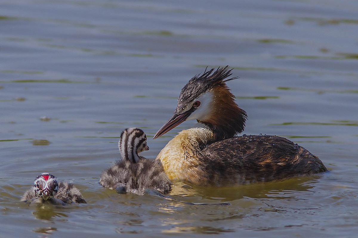 grebe with small...