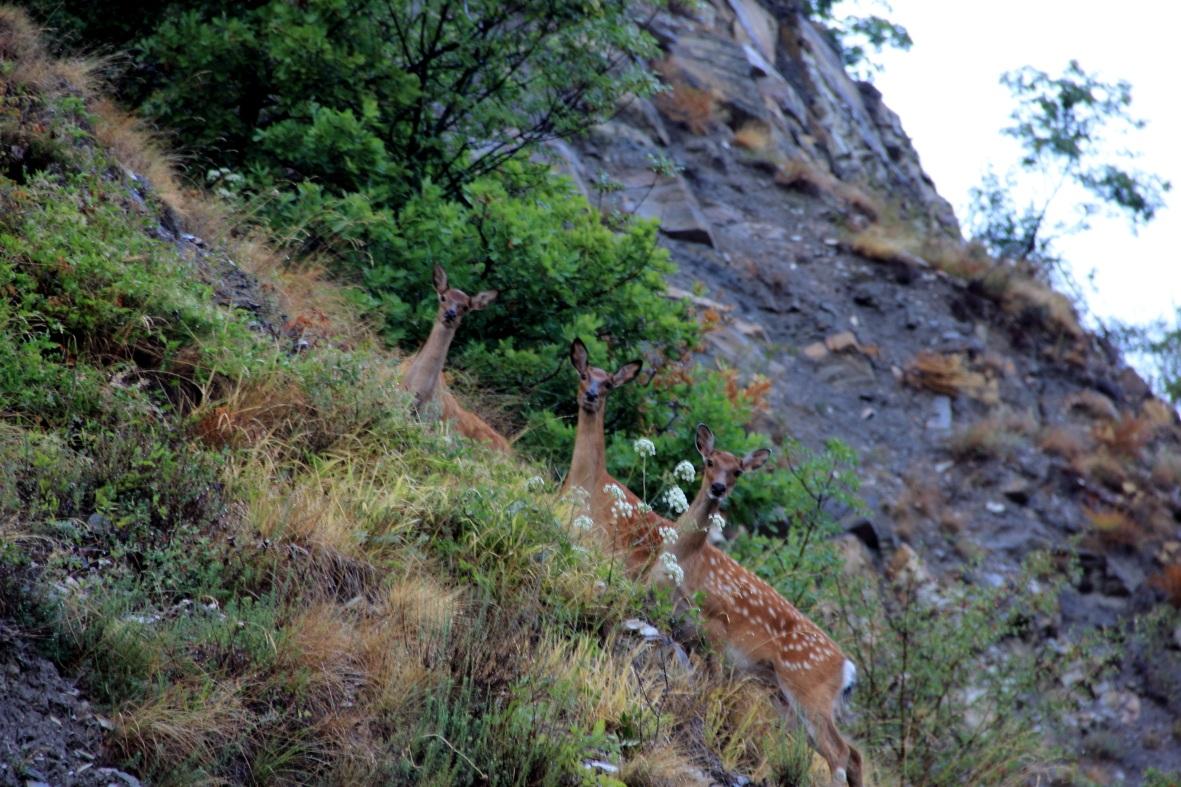 Roe deer along the highway...