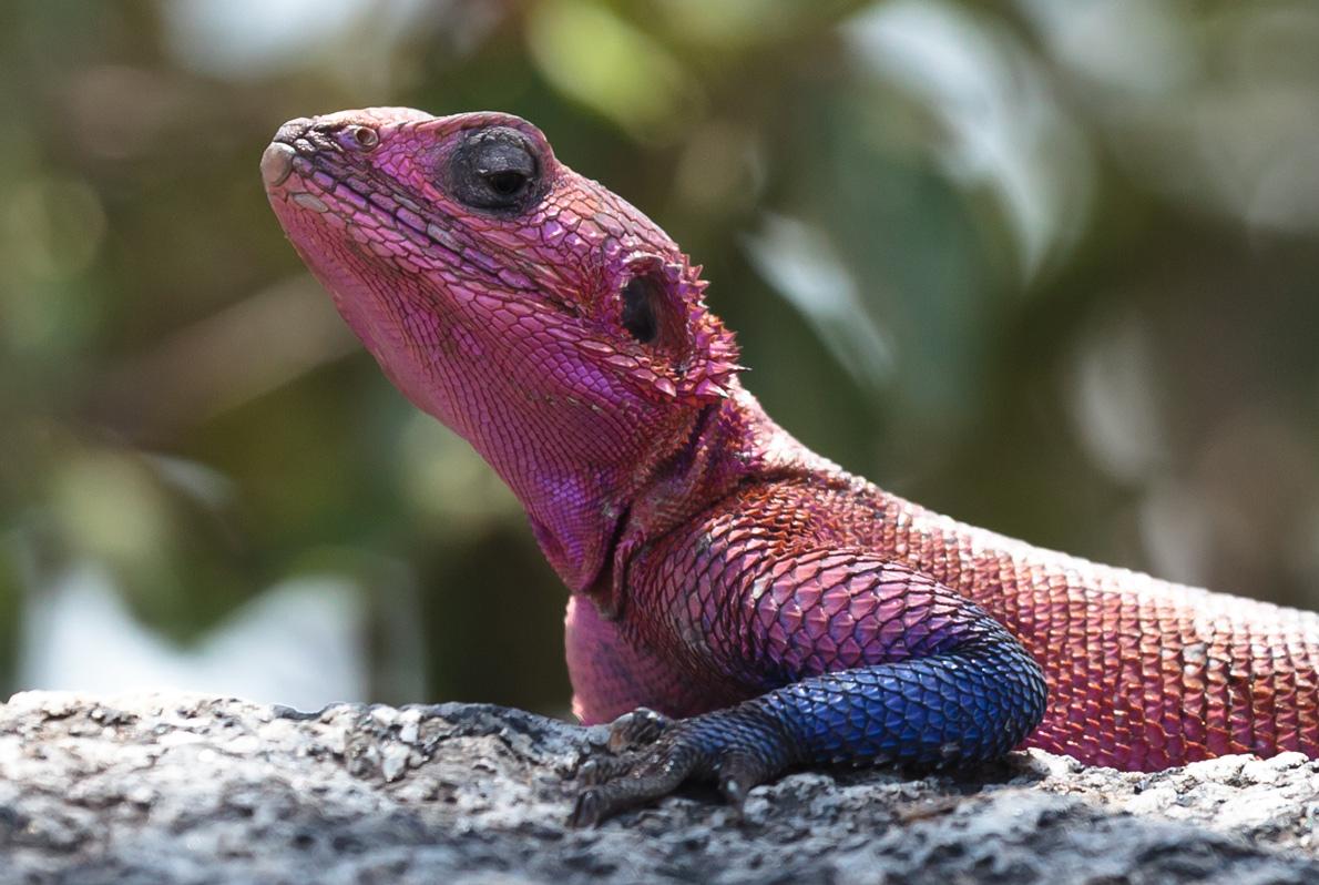 Agama bicolore...