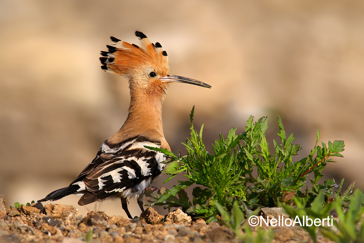 Hoopoe in the morning...