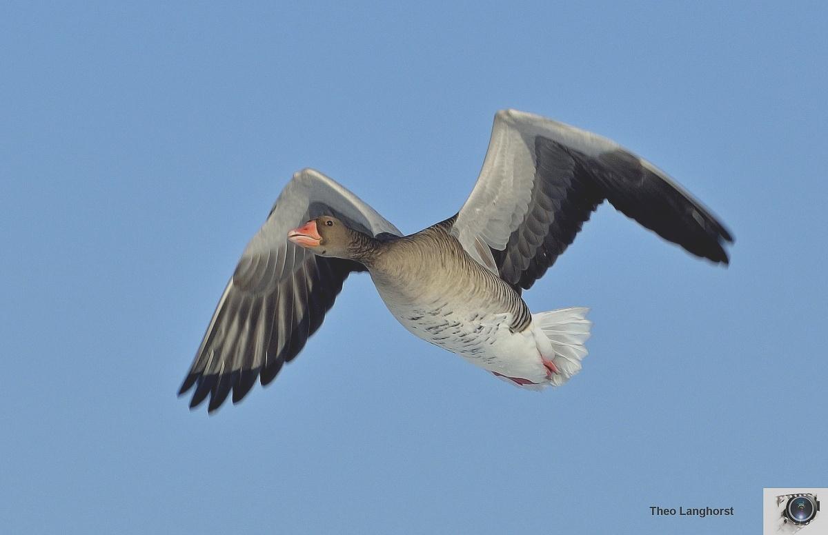 Greylag Goose (Grauwe Gans)...