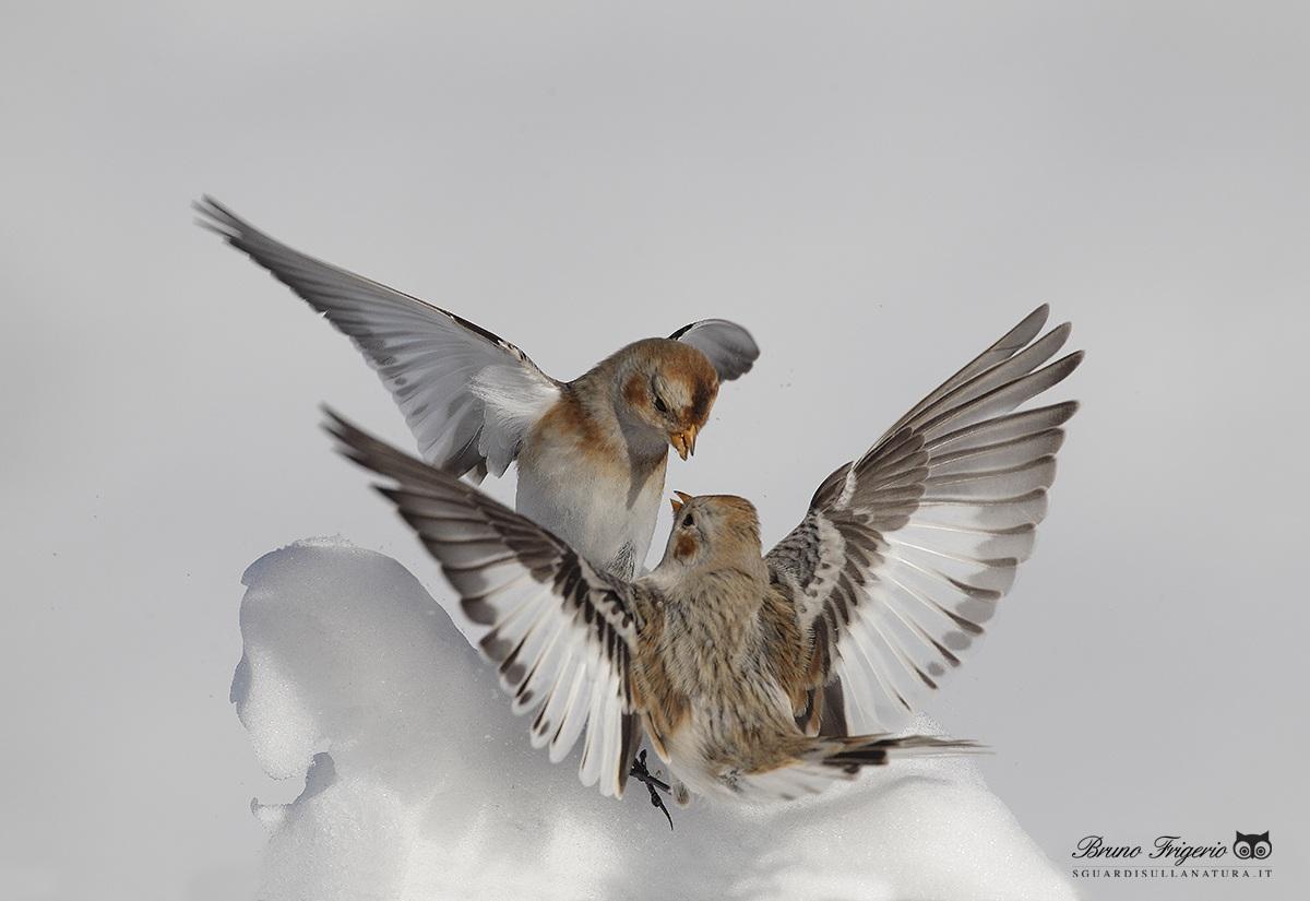 snow buntings...