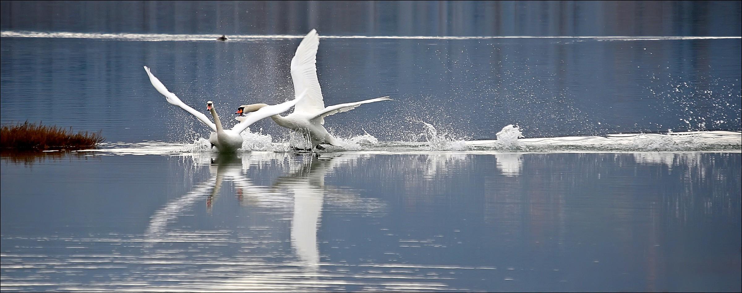 Mute swan...