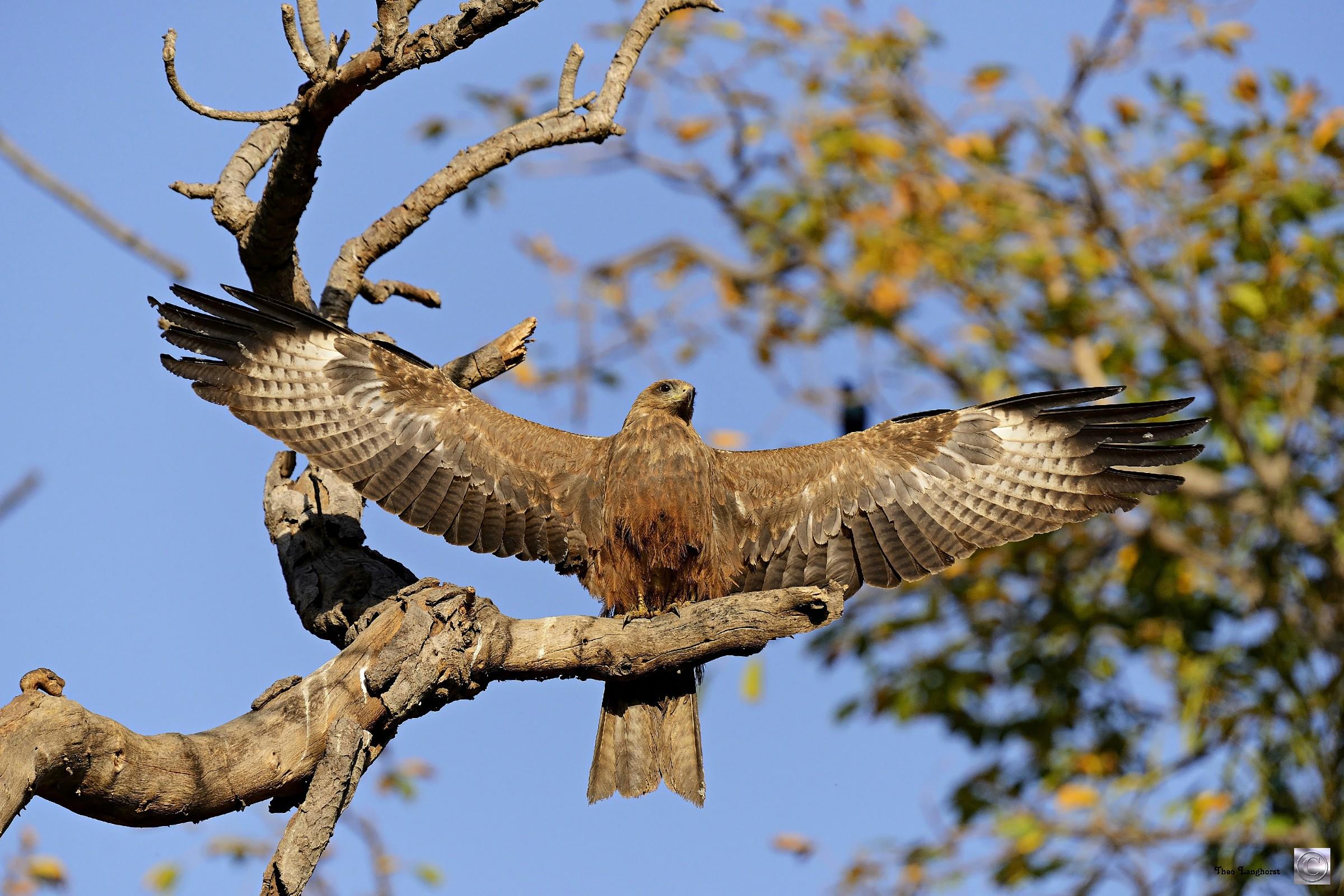 Black Kite, Milvus migrans (Zwarte Wouw)...
