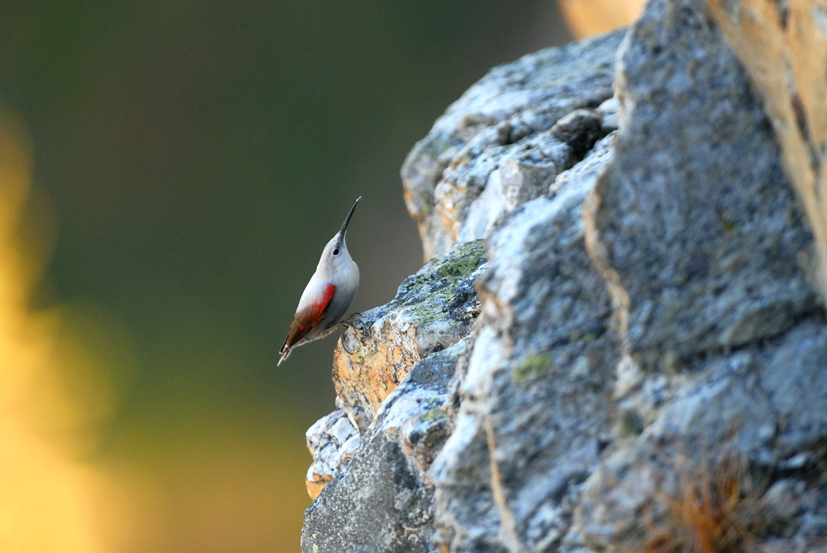Wallcreeper...