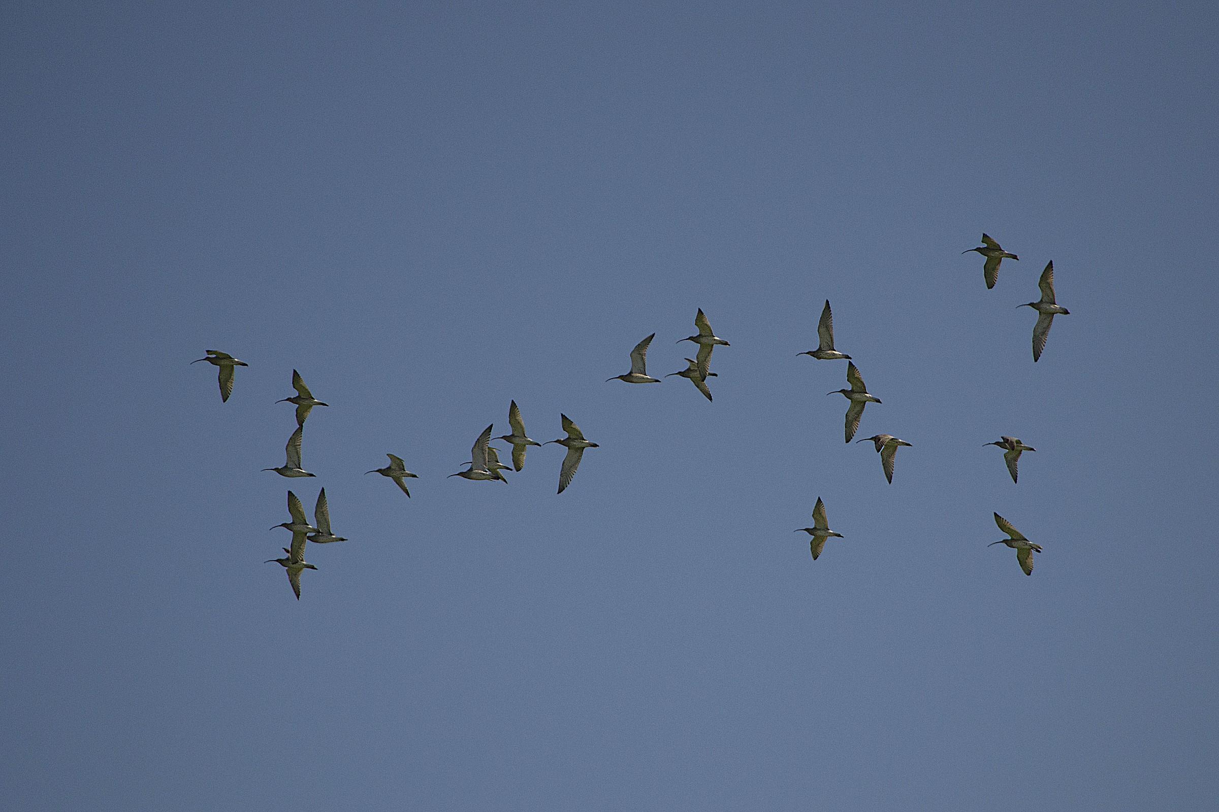 curlews in flight...
