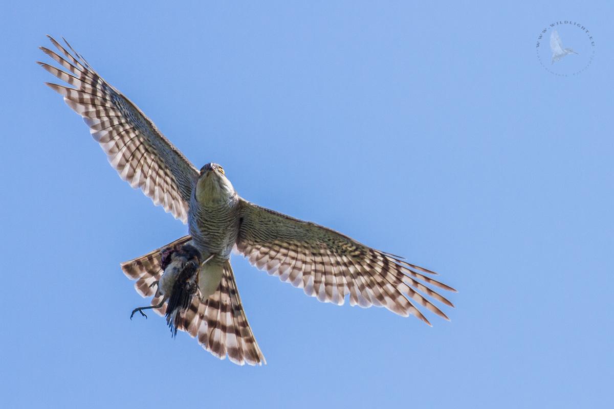 Sparrowhawk with prey....