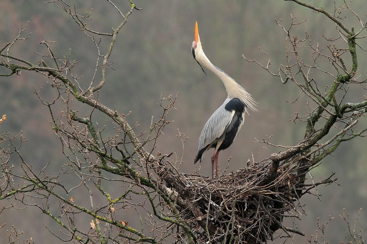 heron-time mating...