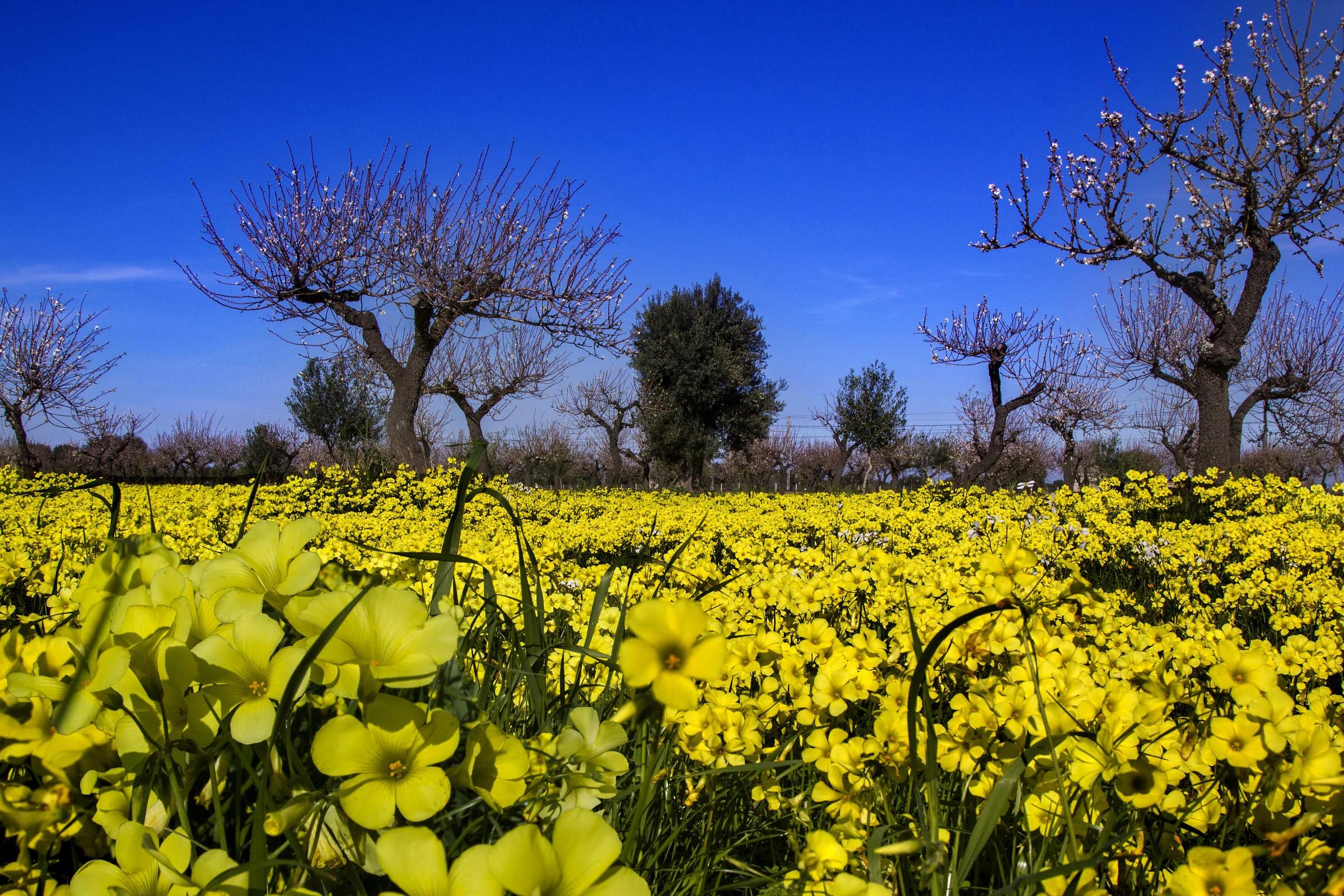 Flowers yellow wood sorrel (Oxalis pes-caprae)...
