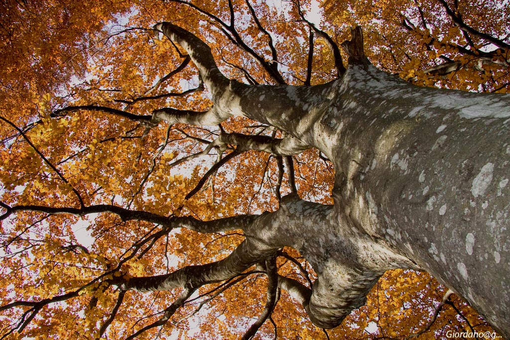 """""""The great Beech""""..."""
