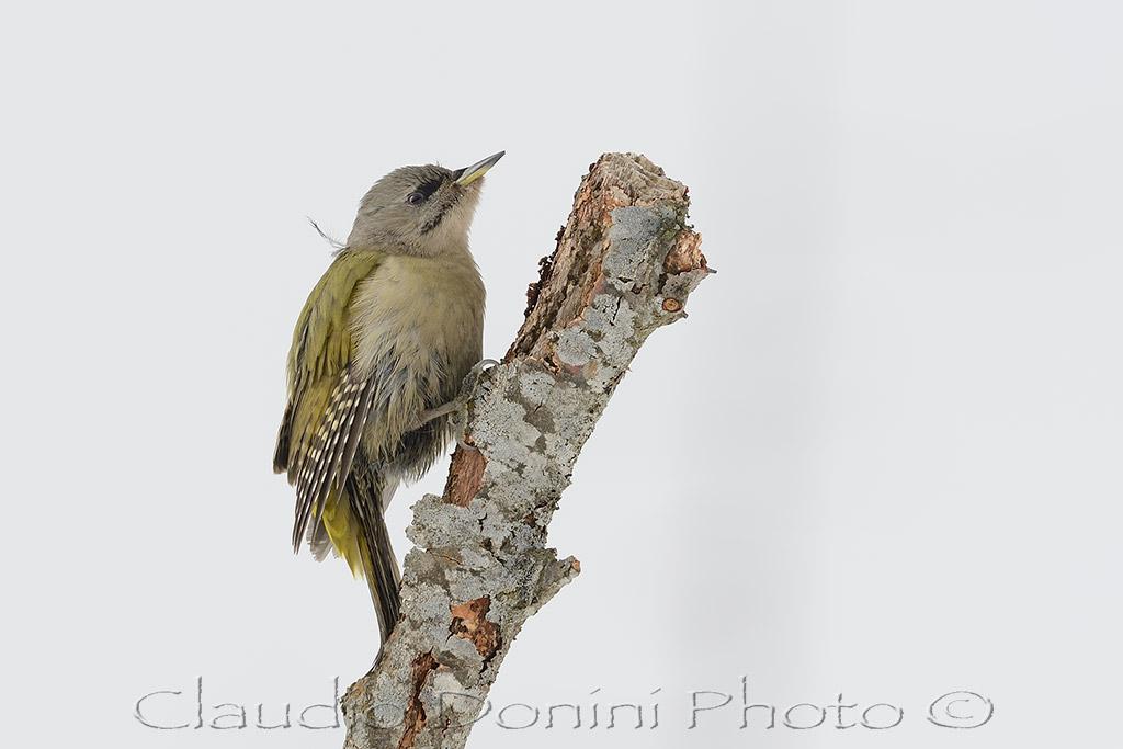 Grey-headed Woodpecker female...