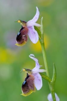 Ophrys lunulata