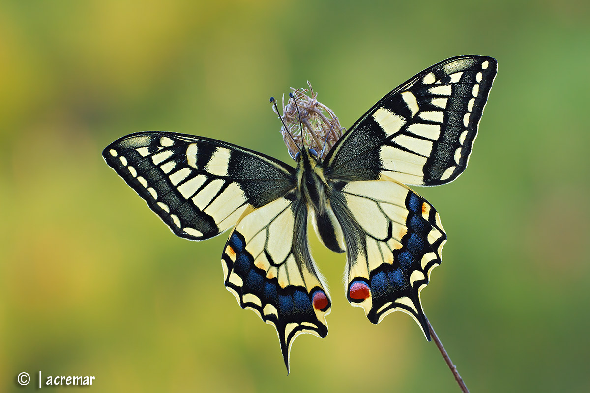 # # Swallowtail butterfly Papilio machaon...