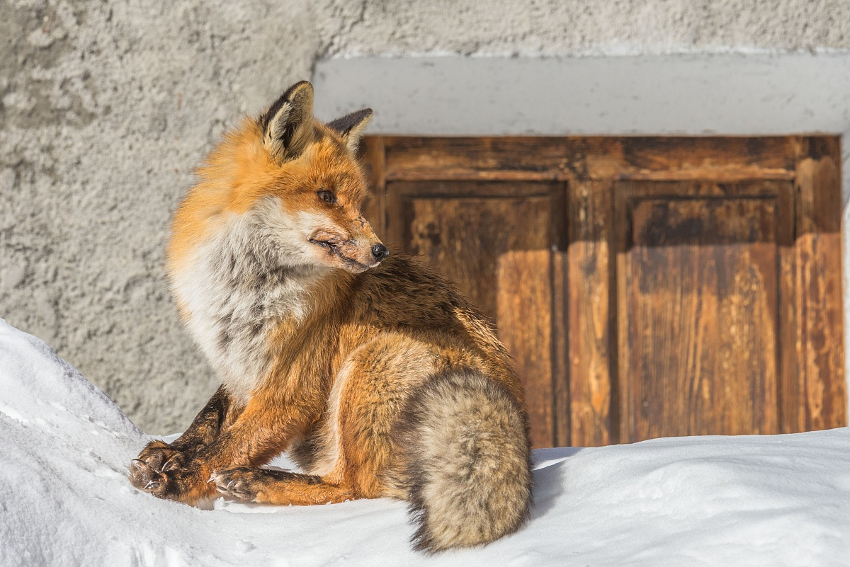 Fox - Valsavarenche...