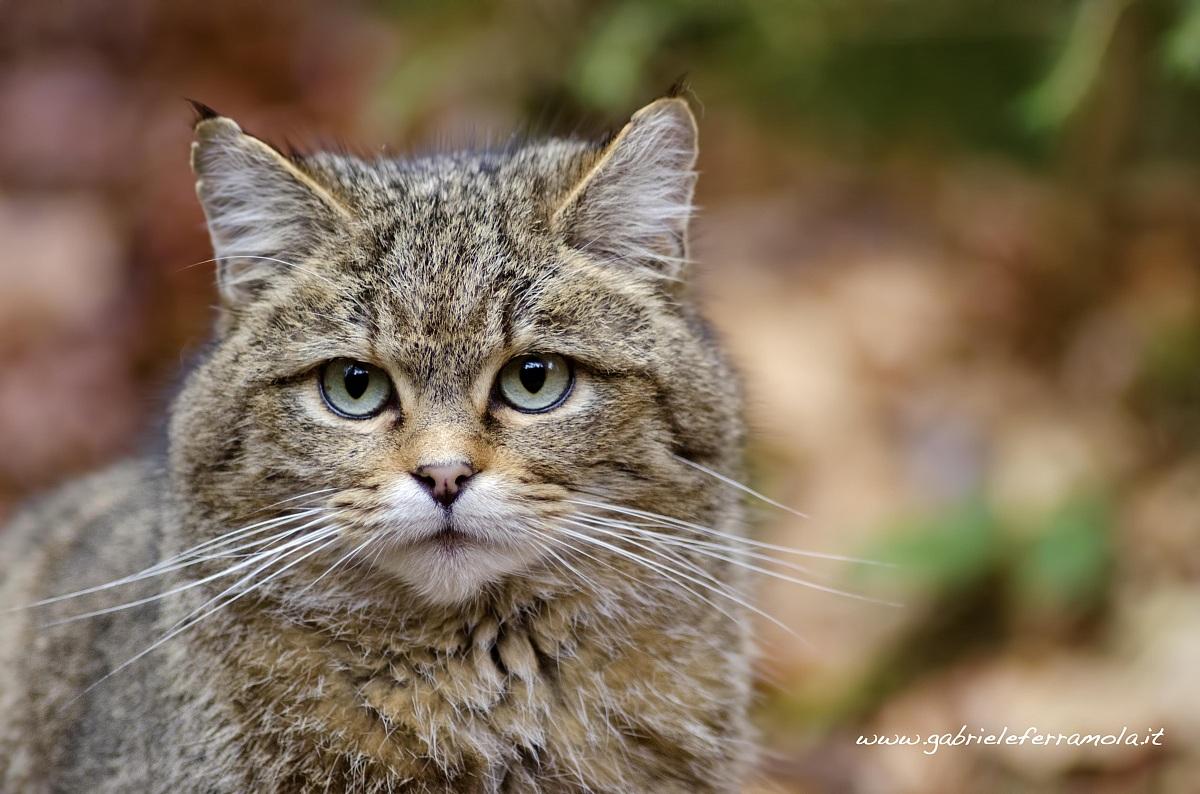 Gatto Selvatico...