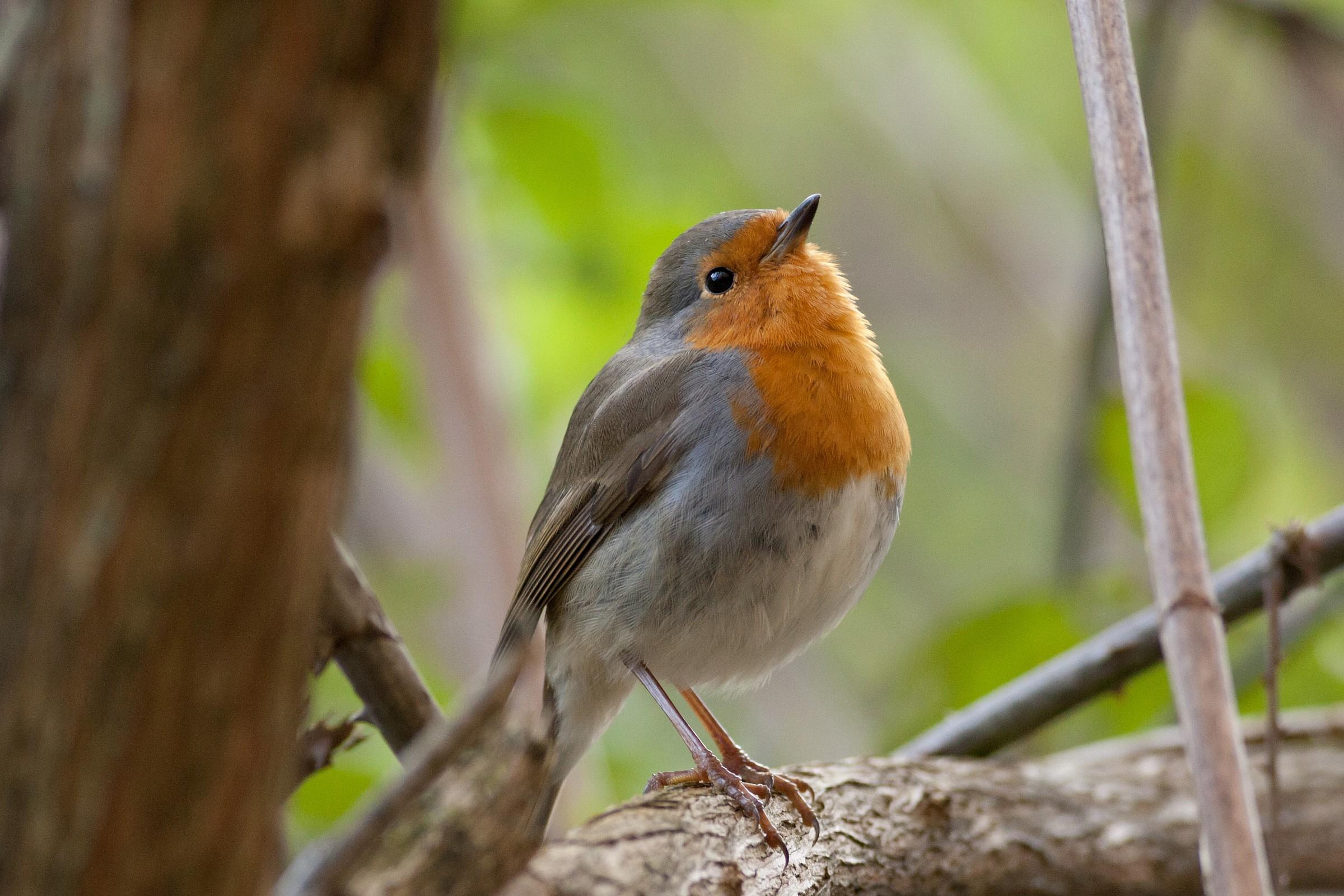Robin # 2...