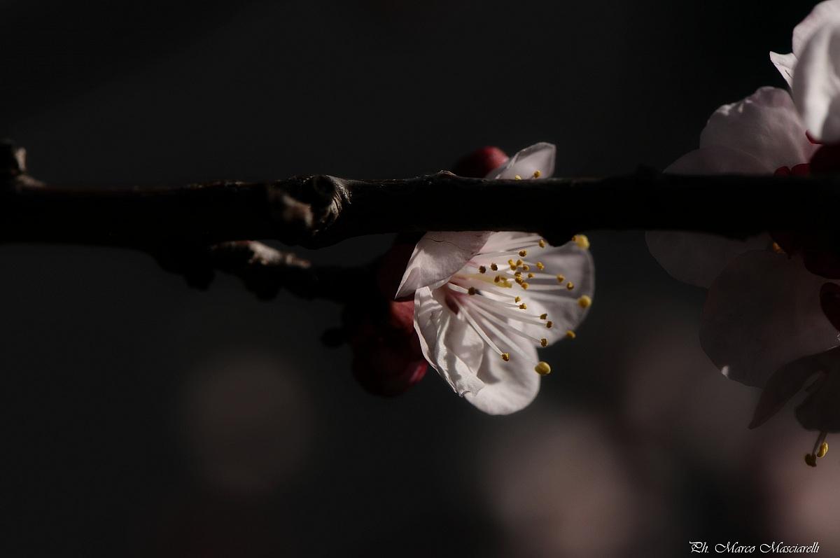 Prunus Armeniaca...