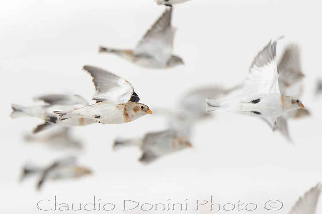 Snow buntings in flight...