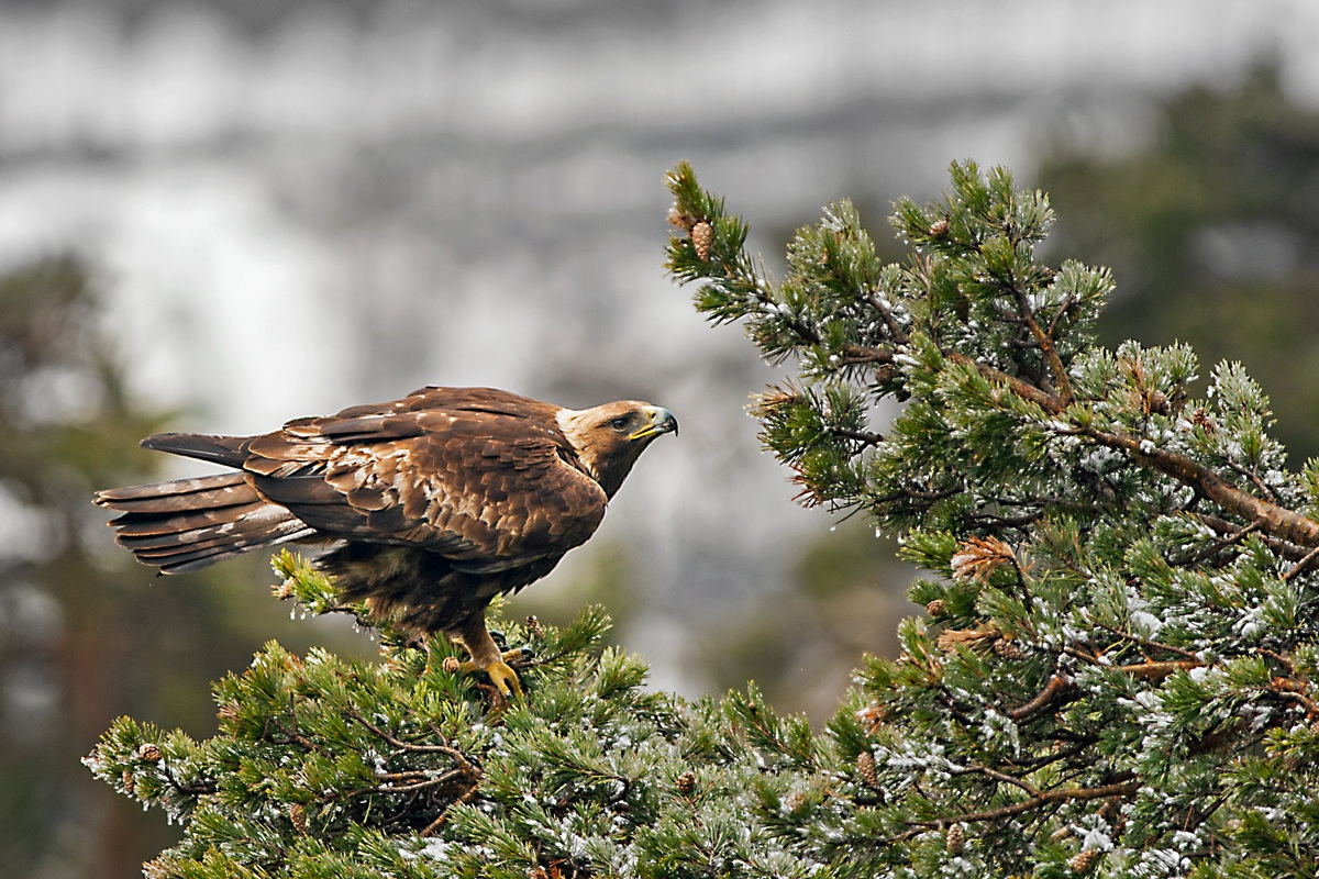 Golden Eagle ... in the depths of the Stura Valley...