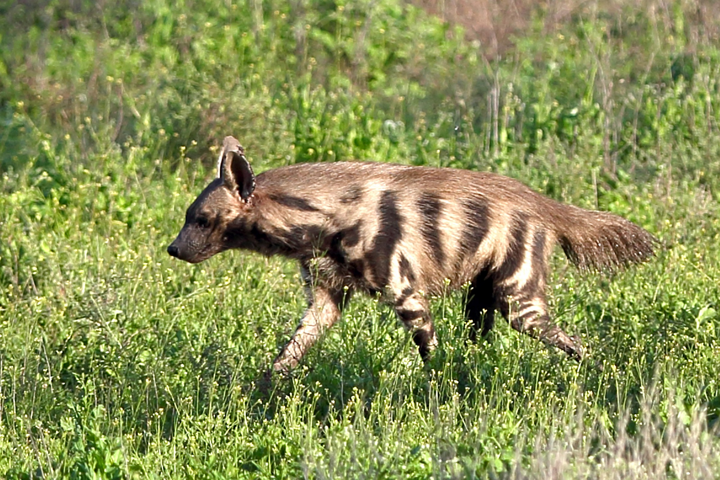 Would striped hyena be a forager
