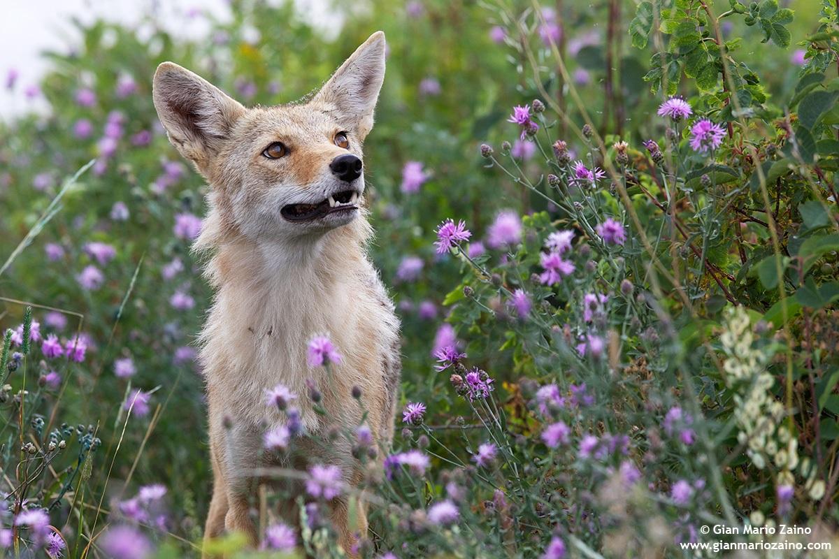 Canis latrans / Coyote...