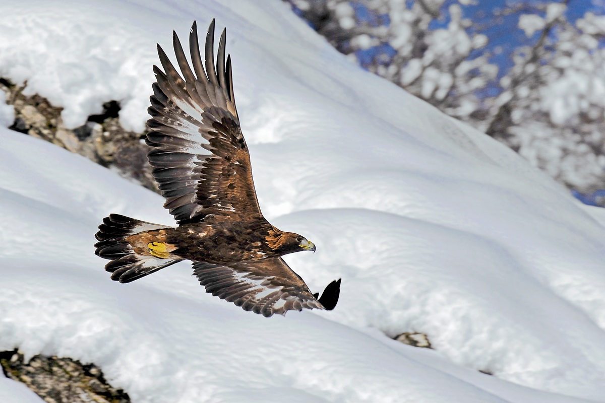 Golden Eagle ... Carpe Diem!...