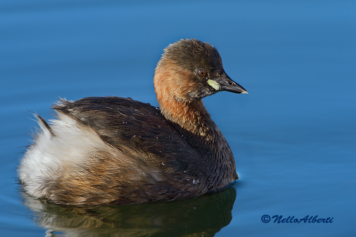 Little Grebe at full size...