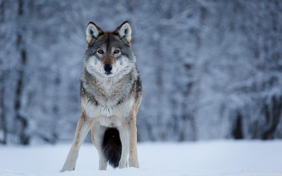 Lupo Polar Park - Norvegia...