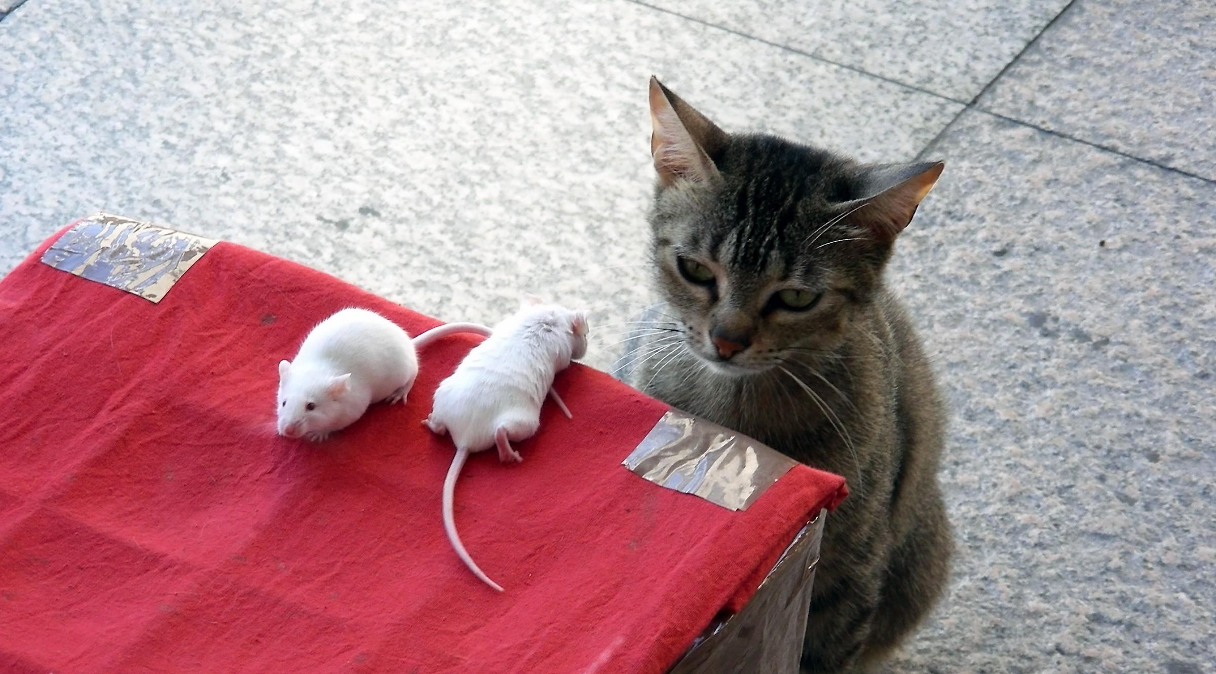 perplexity feline...