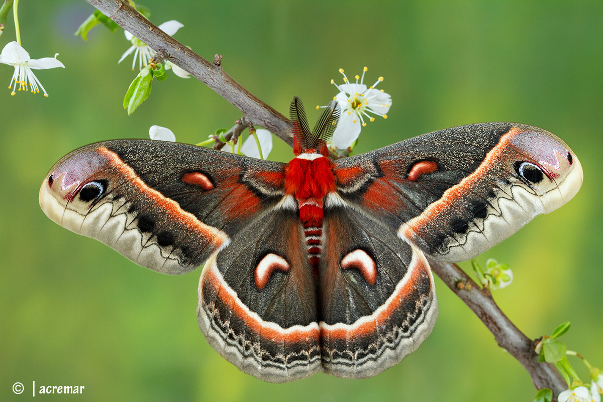 Cecropia Moth...