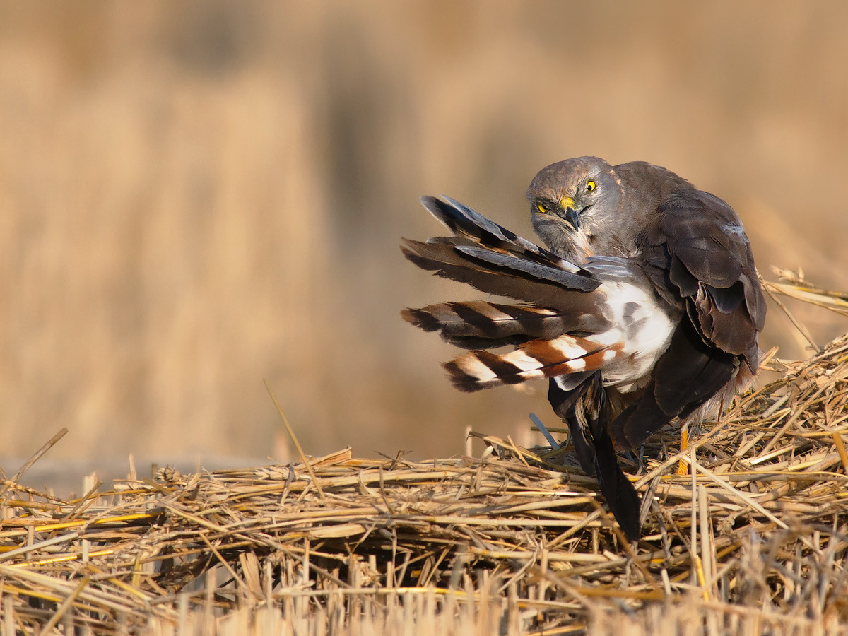 Cleaning morning for a male harrier....
