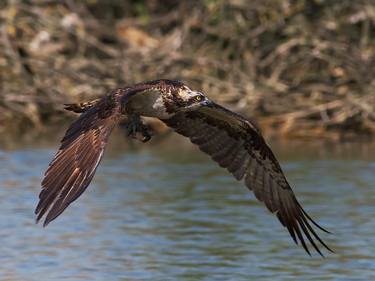 Flight ravvicinatissimo osprey with prey....