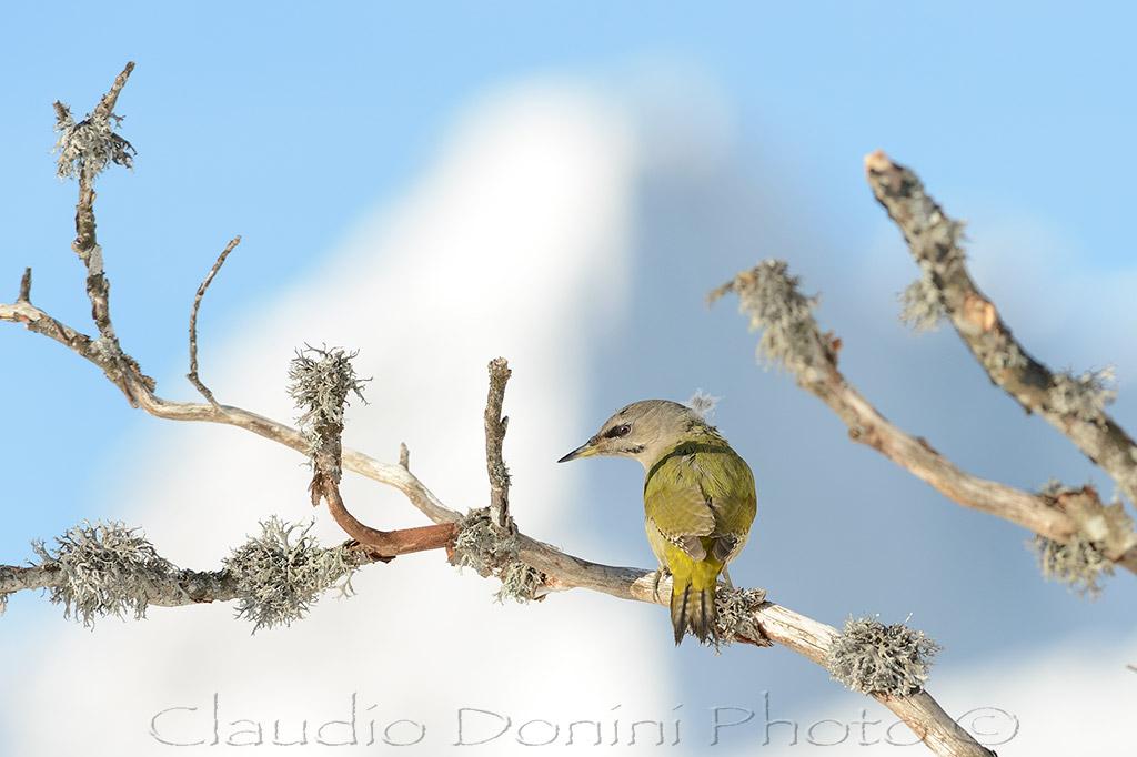 Female woodpecker cinerino set...
