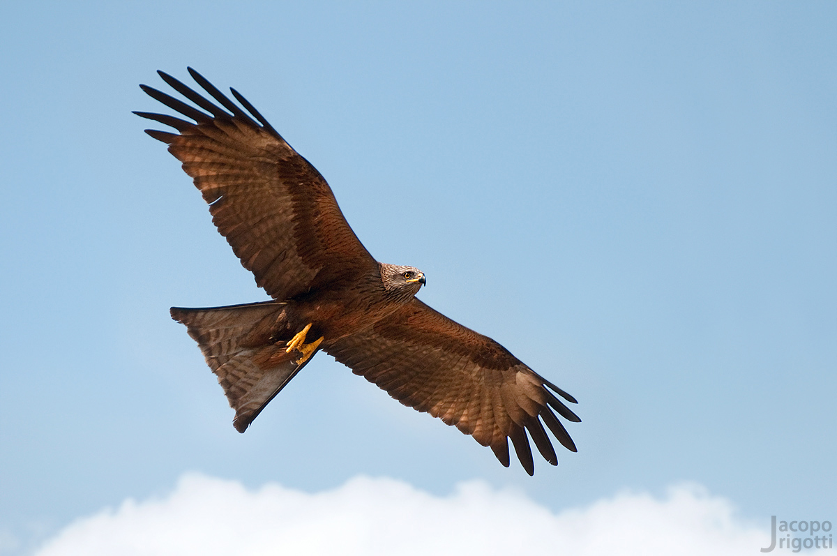 Black kite (Milvus migrans)...