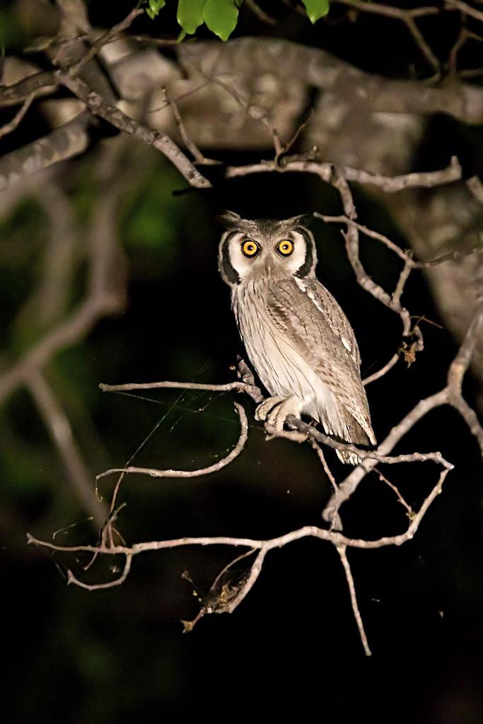 Assiolo Barnacle - Ptilopsis leucotis...