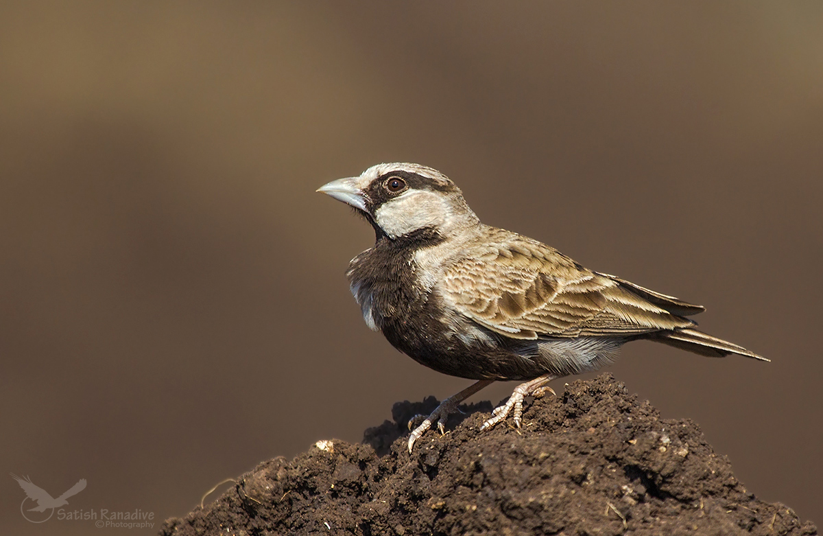 Ashy-crowned Sparrow Lark: male....